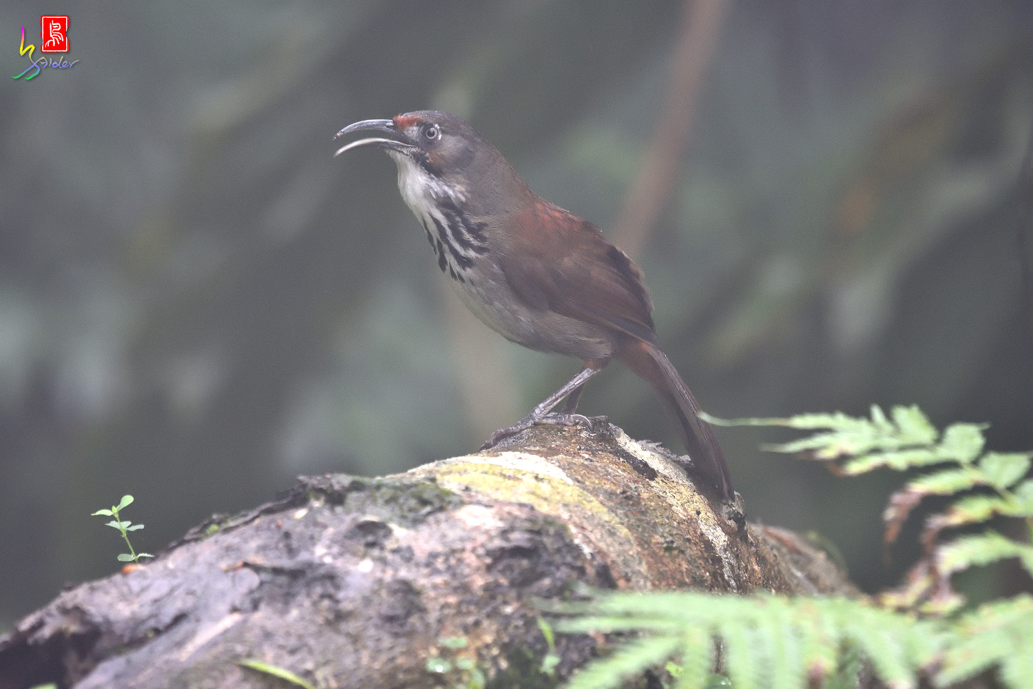 Rusty-cheeked_Scimitar-babbler_4366