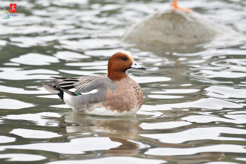 Duck_5077