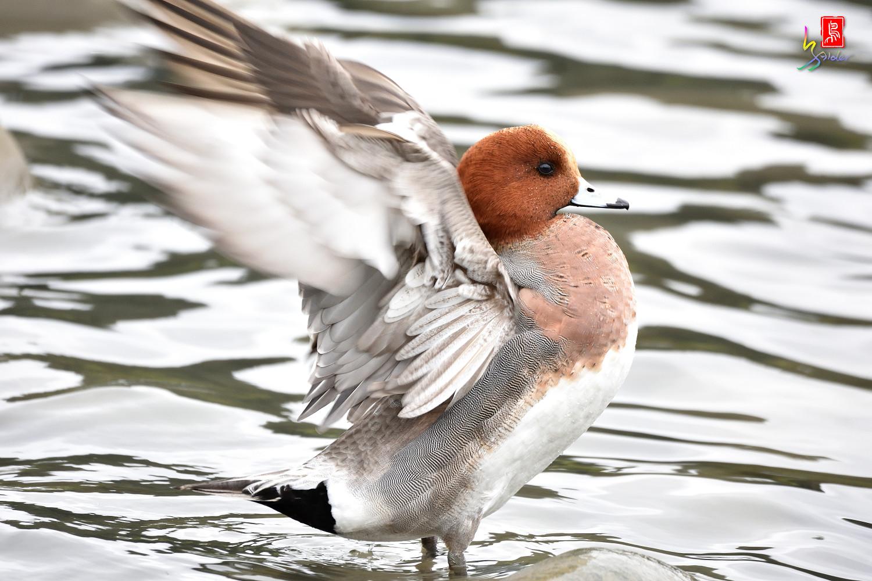 Duck_3315