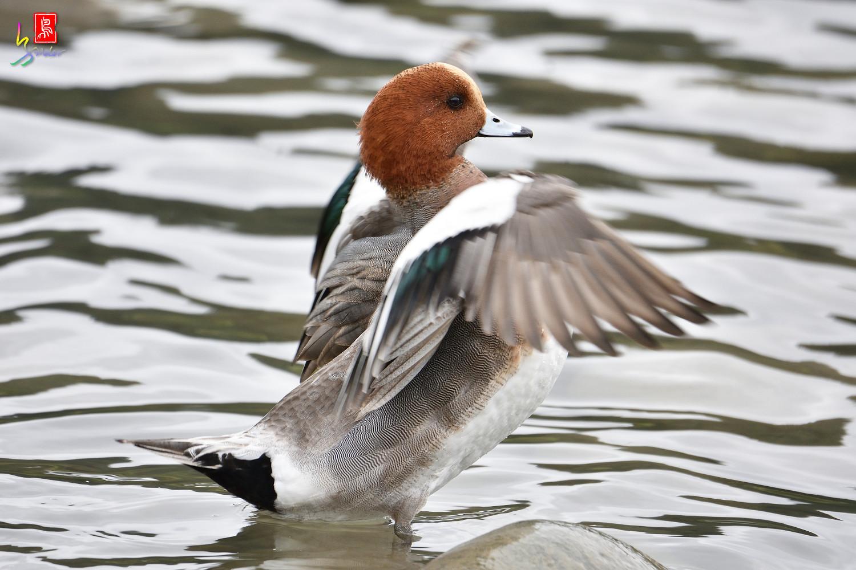 Duck_3312