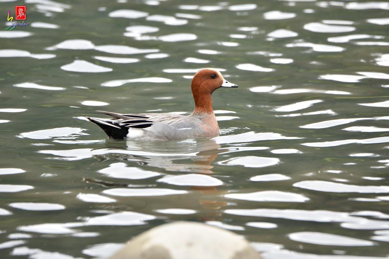Duck_3279