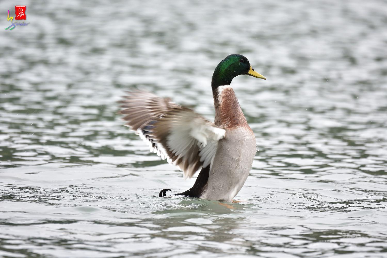 Duck_3229