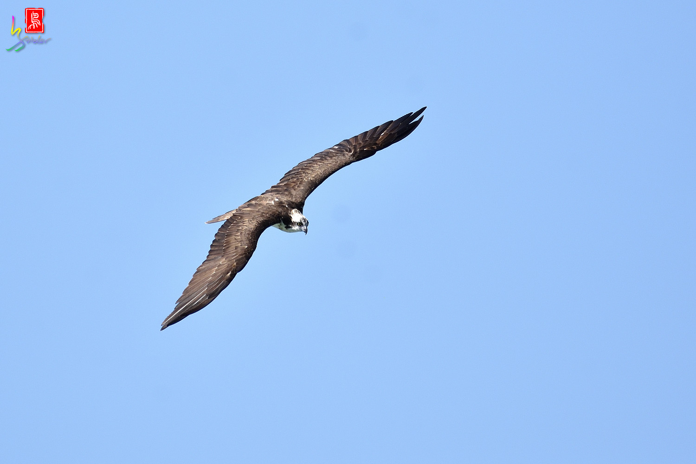 Osprey_3066