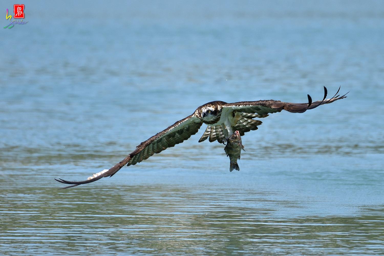 Osprey_2358