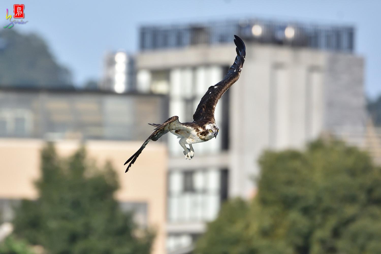 Osprey_1701