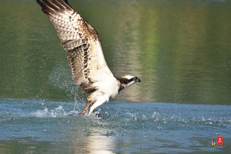 Osprey_1634