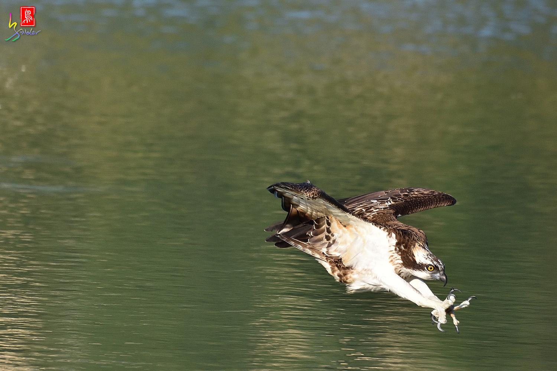 Osprey_1629