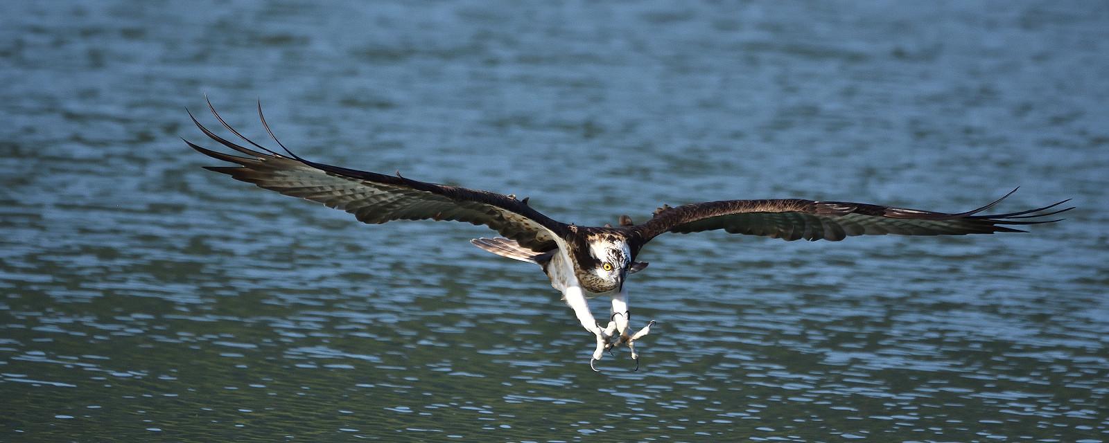 Osprey_1591_L