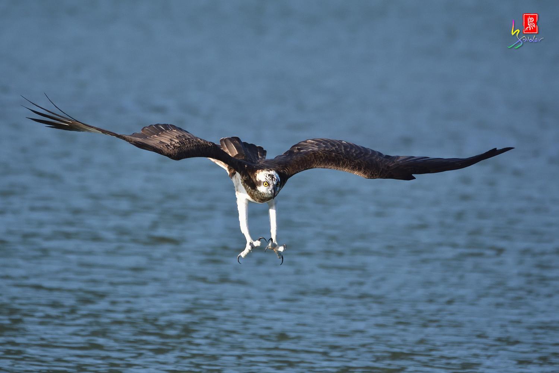 Osprey_1590