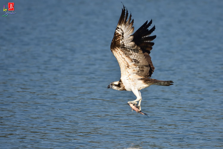 Osprey_1548