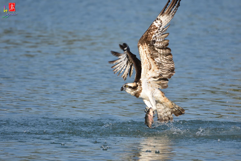 Osprey_1542