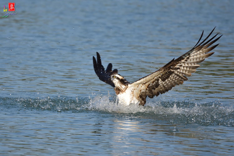 Osprey_1540