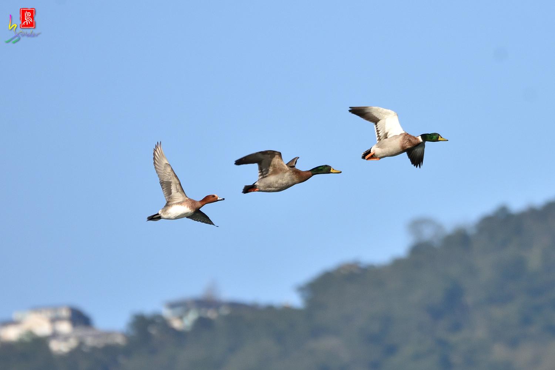 Duck_1375