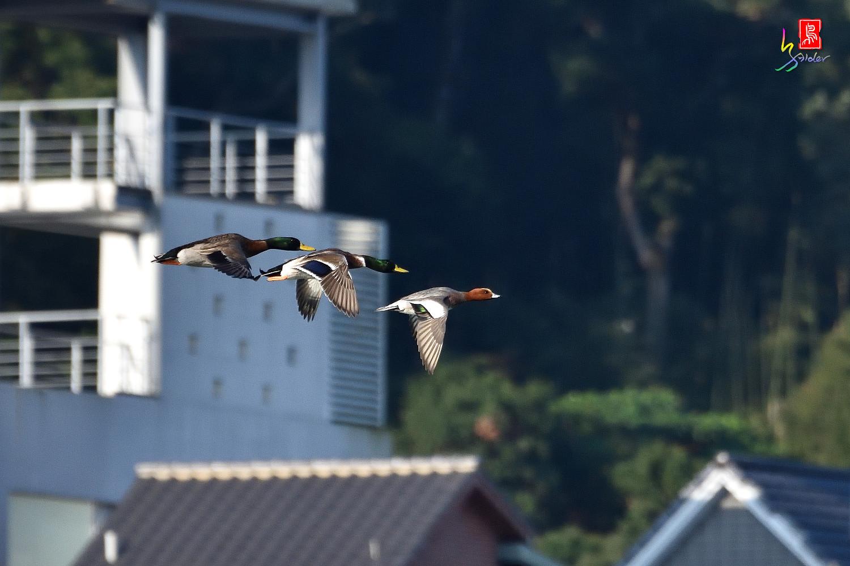 Duck_1341
