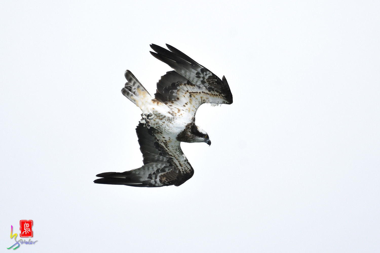 Osprey_0579