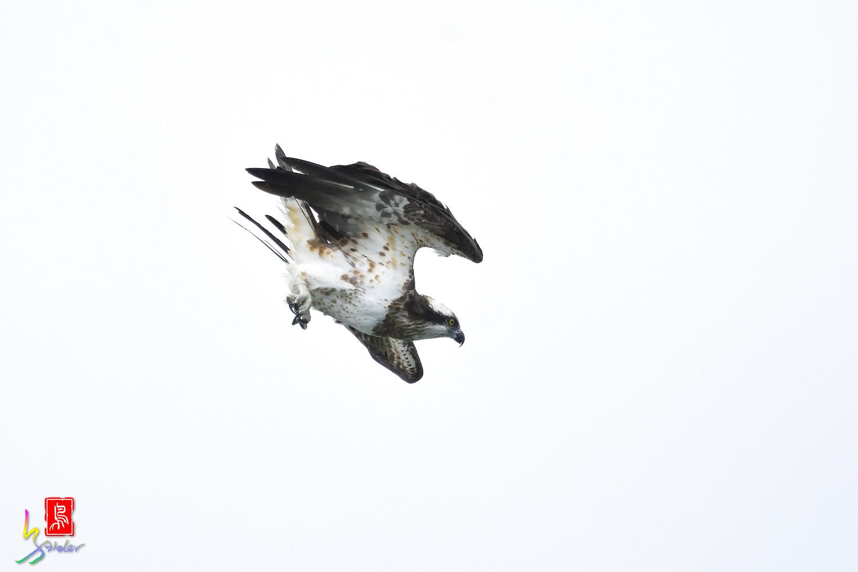 Osprey_0578