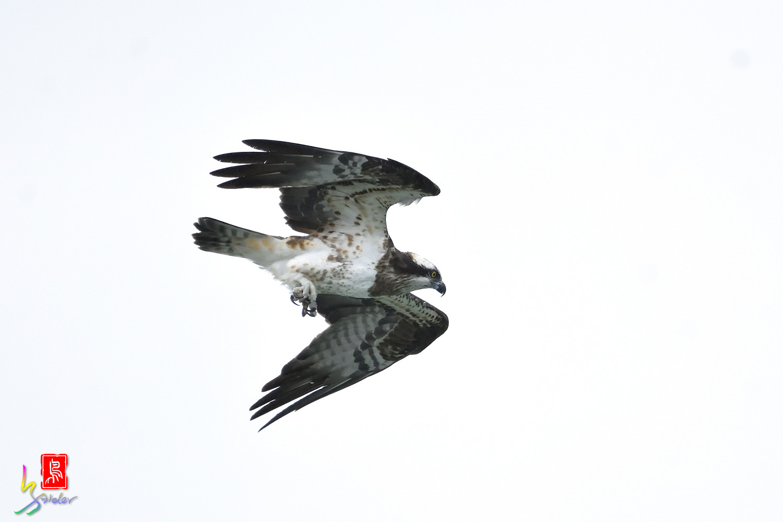 Osprey_0577