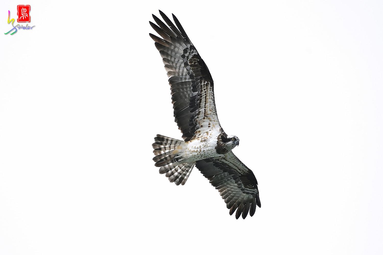 Osprey_0546