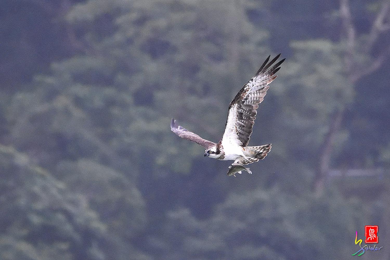 Osprey_0435