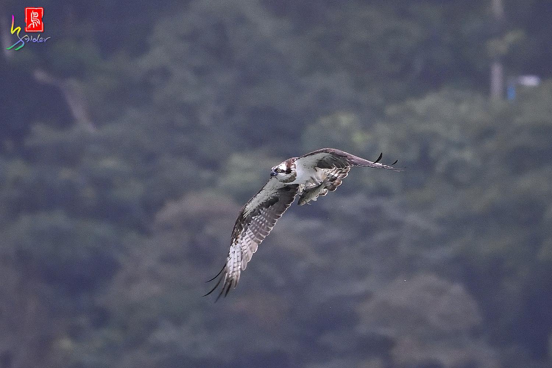 Osprey_0433