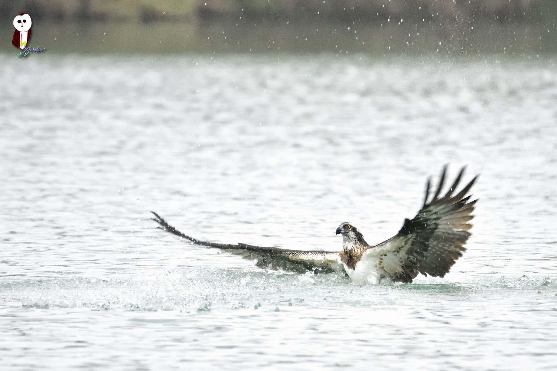Osprey_0079