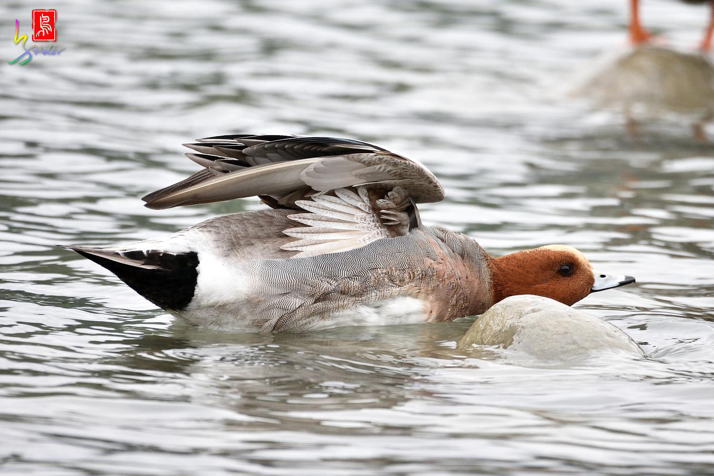 Duck_0936