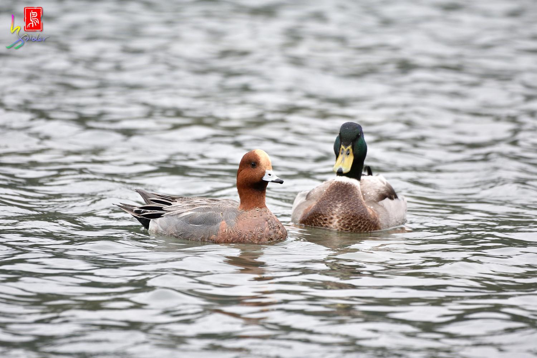 Duck_0879