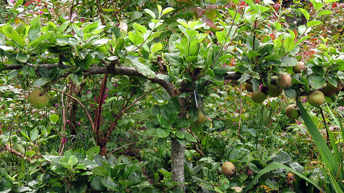 Espaliered apples the castle garden in Glenveagh National Park in Ireland