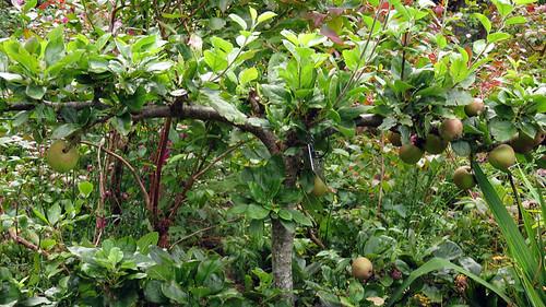 Espaliered apples the castle garden in Glenveagh National Park in Ireland