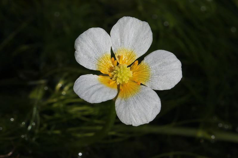Ranunculus nipponicus var. japonicus  ミシマバイカモ