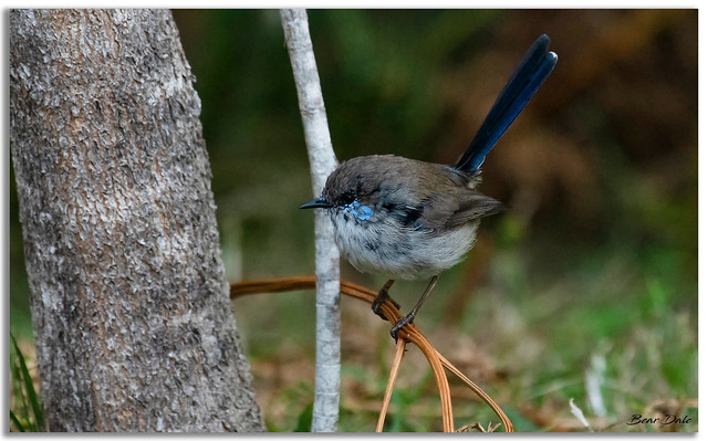 Superb Fairy-wren cock