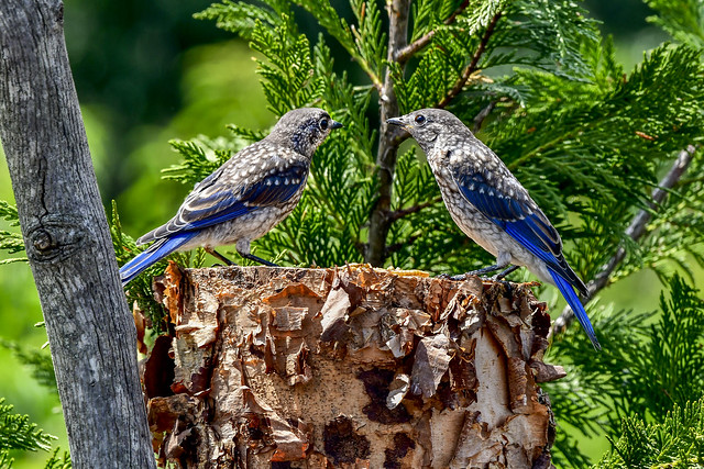 Bluebirds on a birch stump on the Cumberland Plateau of Tennessee
