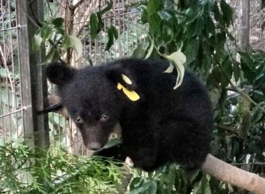 廣原小熊進入人工照養階段,預計一歲左右野放。圖片來源:林務局森活情報站