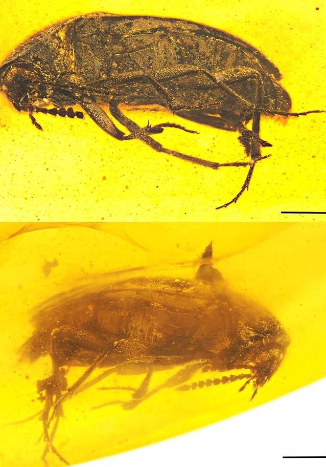 平世異特偽蕈甲模標照。圖片來源: 古生物學報(Paläontologische Zeitschrift)