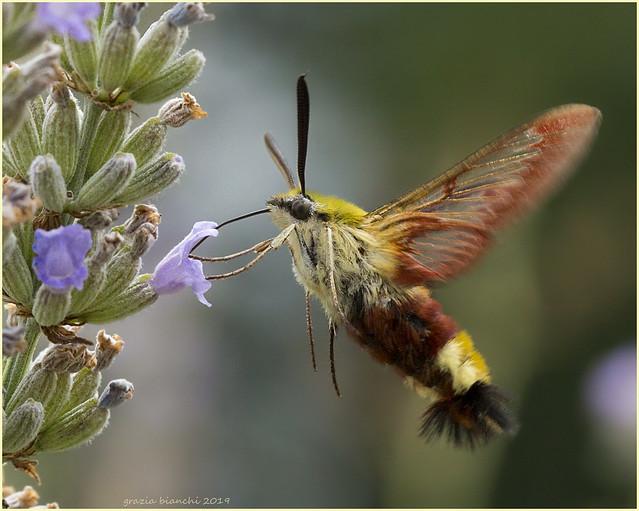 Hemaris fuciformis - Fam. Sphingidae