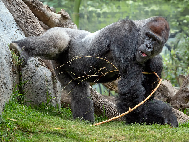 Gorilla Yoga? [In Explore 8/9/19]