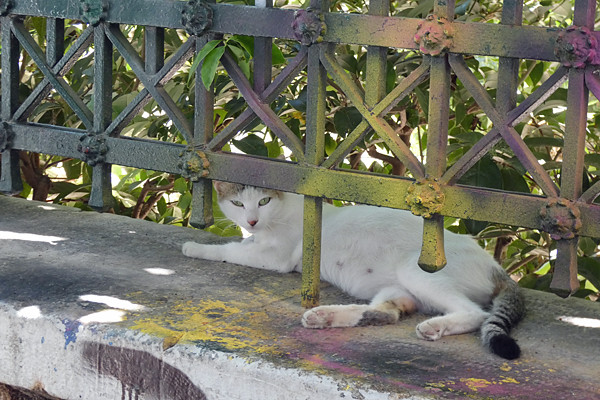 chat blanc d'athenes