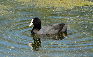 COOT at PRIORY CP