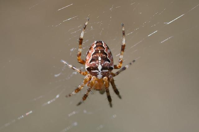 European garden spider (Araneus diadematus) Korsspindel