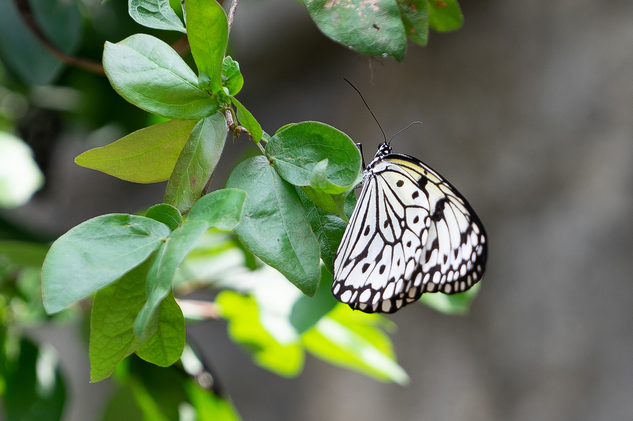Marbled White Butterfly, Penang