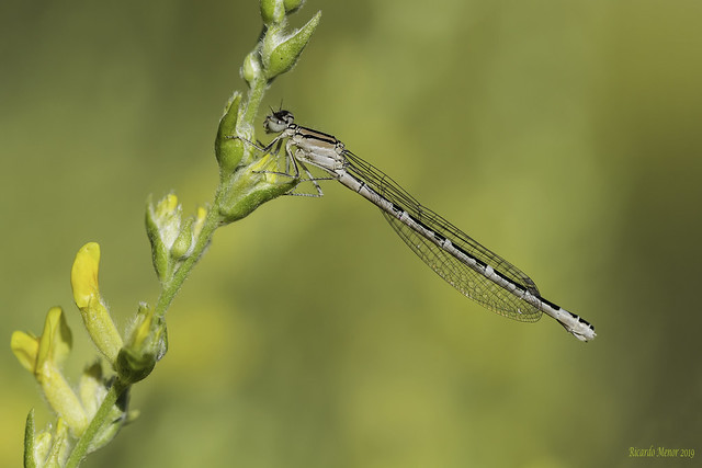 Enallagma cyathigerum. Inmature female