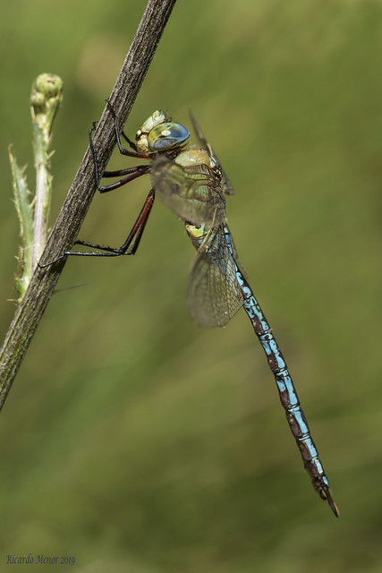 Anax imperator. Adult male