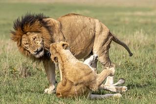 lion couple-2