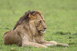 lion-2659