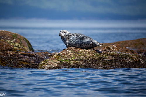 The Maritimes #19: Seal