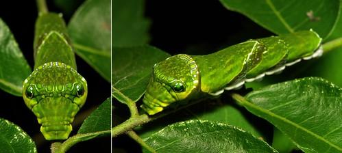 MUGSHOT - Yellow Helen Swallowtail Butterfly Caterpillar (Papilio nephelus, Papilionidae)