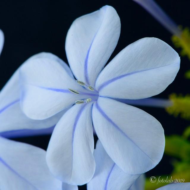 Jazmín azul, (Plumbago auriculata)
