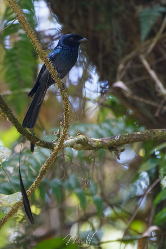 Lesser Racket-tailed Drongo (Dicrurus remifer) 小盤尾