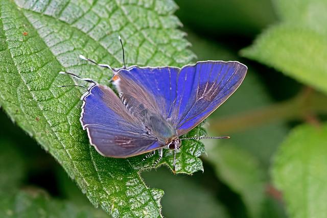 Hypolycaena erylus  - the Common Tit (male)
