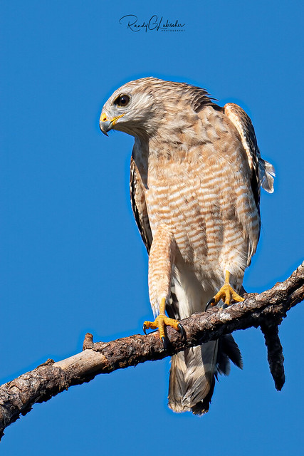 Red-shouldered Hawk - Buteo lineatus | 2019 - 1